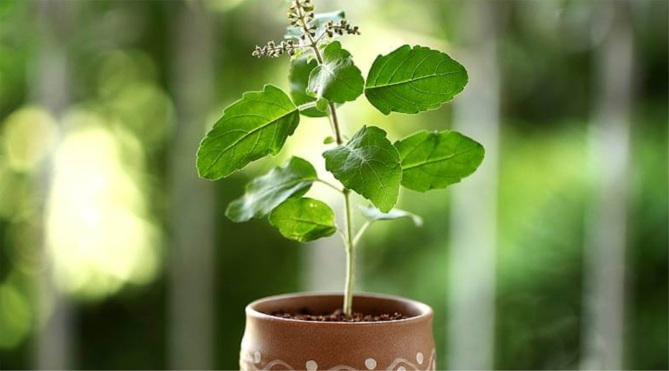 Tulsi (Holy Basil) Benefits