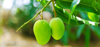 10 Mango Leaves Benefits Which Nobody Has Ever Told You About