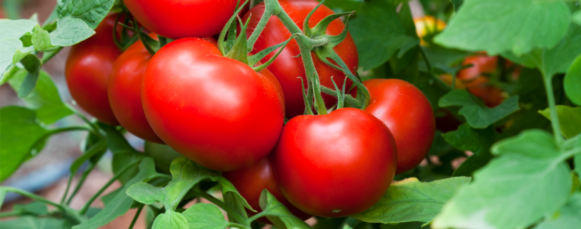 Is Tomato a Fruit or Vegetable?