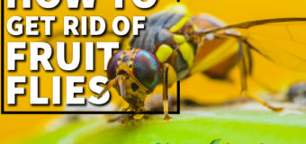 How To Get Rid Of Fruit Flies – 6 Natural DIY Tricks Get Rid Of Fruit Flies