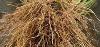 Ramacham (Vetiver)-smoothens and regenerate the skin