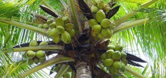 Coconut Cocos Nucifera C. nucifera L.-Tree of Life Naariyal