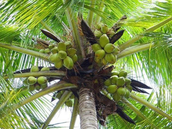 Coconut नारियल naariyal Is eating raw coconut good for you?